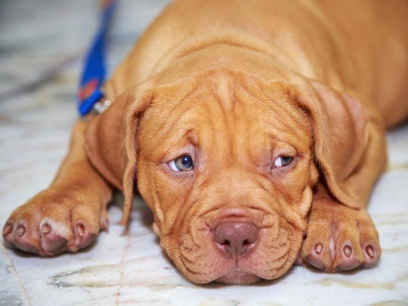 Der müde kleine Pitbull-Welpe hätte gern Streicheleinheiten – Shutterstock / Jaxja