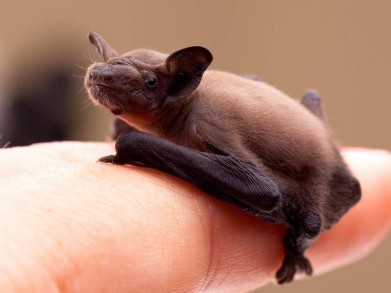 So winzig ist eine Zwergfledermaus als Baby. Zu niedlich! – Shutterstock / eZeePics