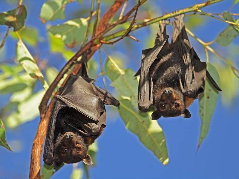 Flughunde bilden eine eigene Untergattung bei den Fledertieren – Shutterstock / EcoPrint