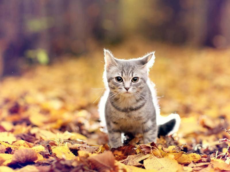 Raschel, raschel, vorsichtig tapst die Miez durchs Laub – Bild: Shutterstock / Kichigin