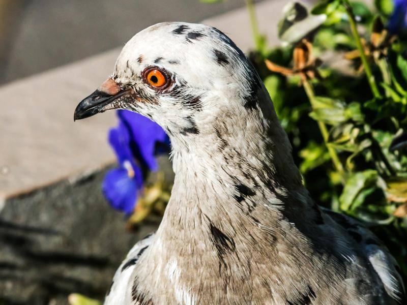 Aber Taube ist nicht gleich Taube: Es gibt über 300 Arten von Tauben! – Bild: Shutterstock / PETR LUNYANSKIY