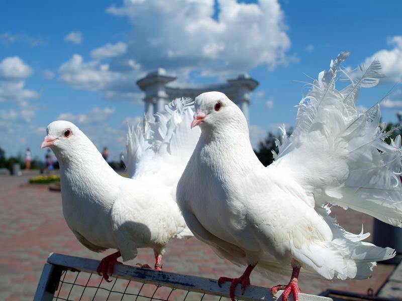 Aber auch ihre Gefiederfarbe weist Unterschiede auf: So sind einige Tauben weiß, … – Bild: Shutterstock / Valerii Iavtushenko