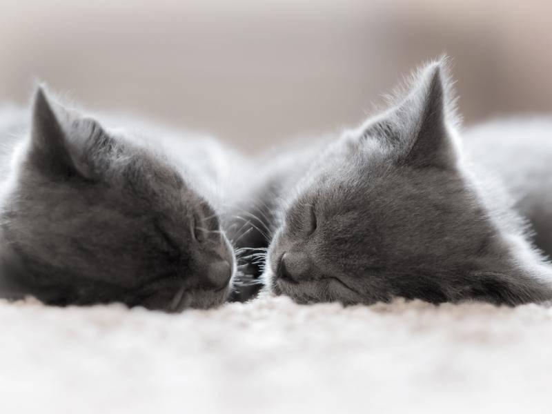 Schlafenszeit! Gute Nacht, ihr süßen grauen Kätzchen! – Bild: Shutterstock / VladimirE