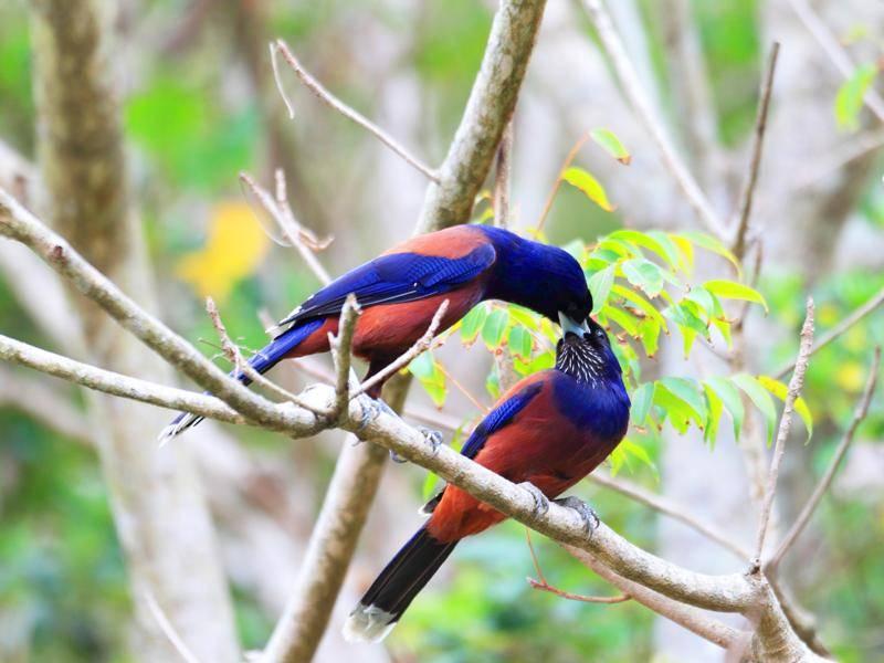 In Asien gibt es auch farbenfrohe Häher, die zu den Rabenvögeln gehören – Shutterstock / feathercollector