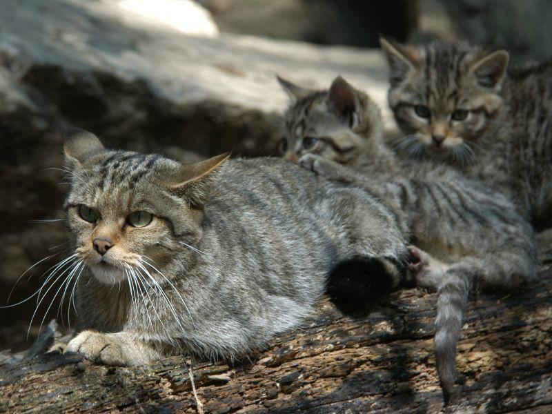 Vor allem, wenn sie Nachwuchs hat, ist die Wildkatze sehr wachsam – Shutterstock / Vladimir Wrangel