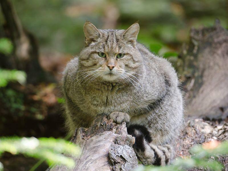 Diese puschelige Wildkatze ist nicht in Schmusestimmung – Shutterstock / Wolfgang Kruck