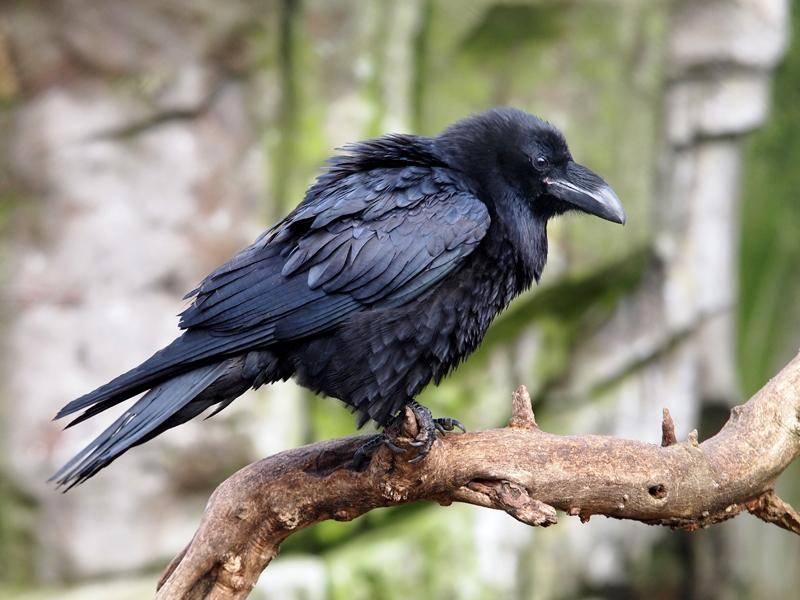 Und so sieht ein junger Rabe aus in seinem schwarzen Federkleid – Shutterstock / Edwin Butter