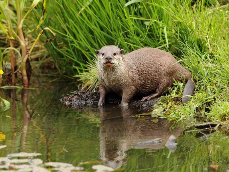 Auf der Lauer: Ein Fischotter auf Futtersuche – Shutterstock / Steven Ward