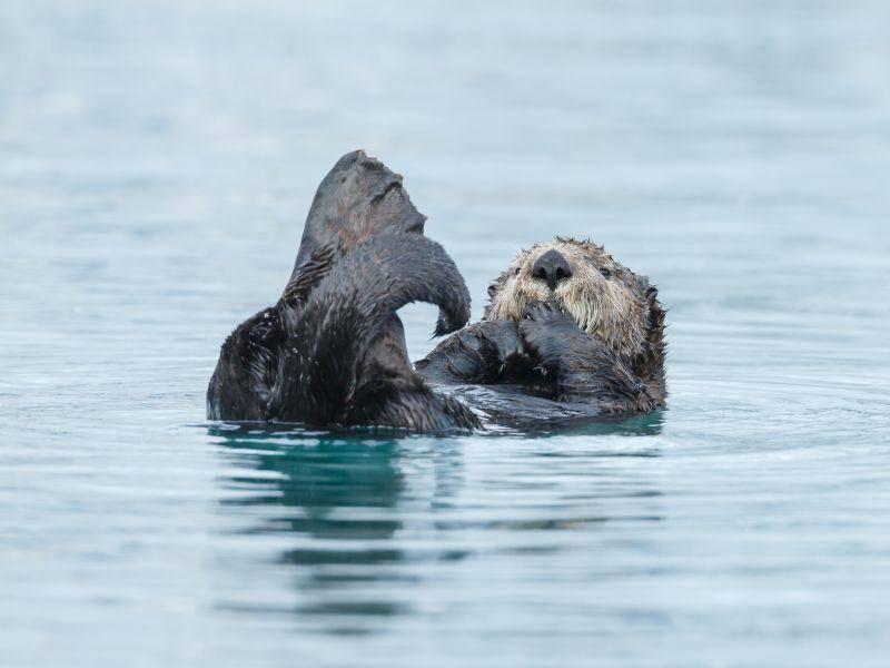 Der Seeotter ist wohl schon satt und kann im Wasser entspannen – Shutterstock / Menno Schaefer