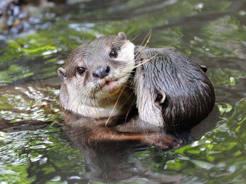 Knutschi-knutschi! Diese Otter haben sich lieb – Shutterstock / Jordan Tan