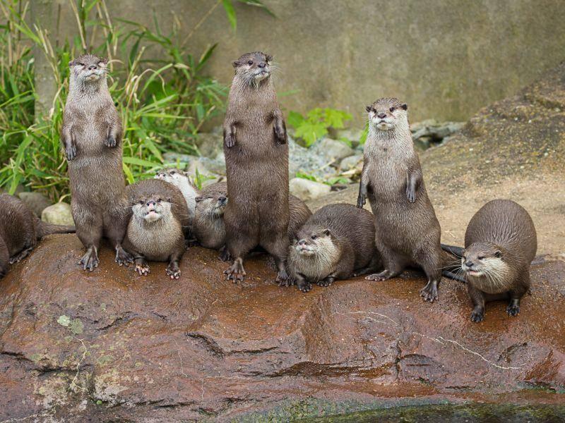 Kuckuck! Wir präsentieren die Otter-Parade! – Shutterstock / Anna Moskvina