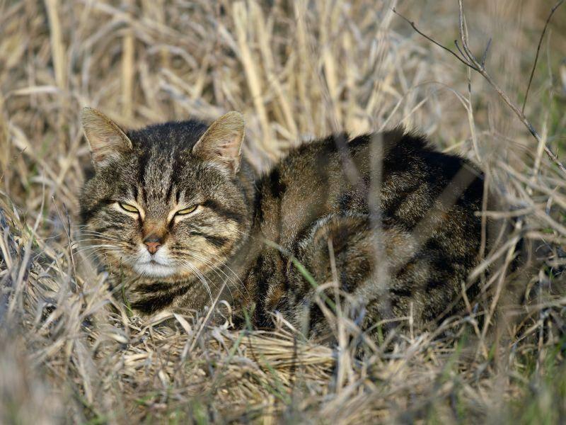Doch ab und zu döst die Wildkatze auch in einem Feld – Shutterstock / aaltair