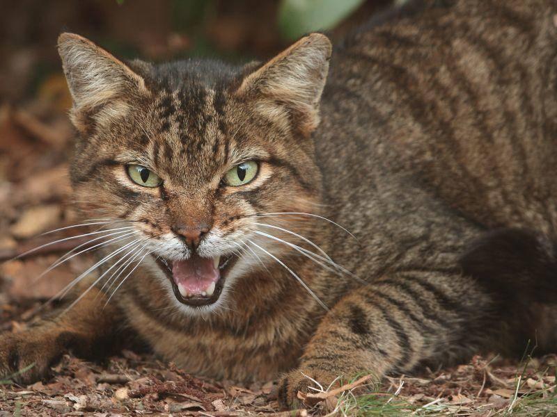 Wehe, man kommt der Wildkatze zu nahe! – Shutterstock / Tekniphotos