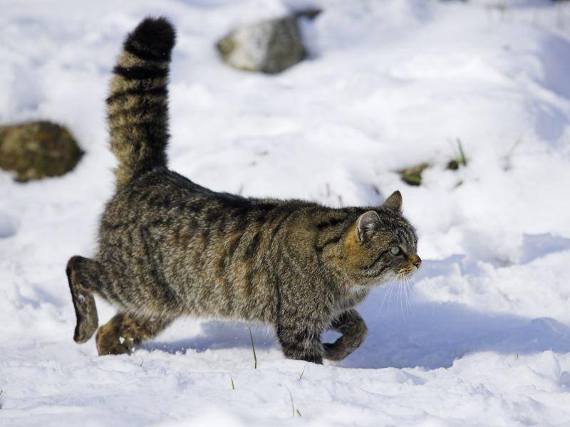 Europäische Wildkatze pirscht sich lautlos an ihre Beute heran – Shutterstock / Bildagentur Zoonar GmbH