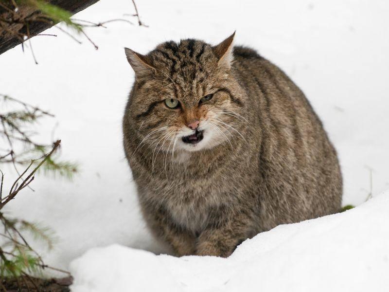 """""""Die Maus war aber lecker!"""", denkt die Wildkatze – Shutterstock / Bildagentur Zoonar GmbH"""