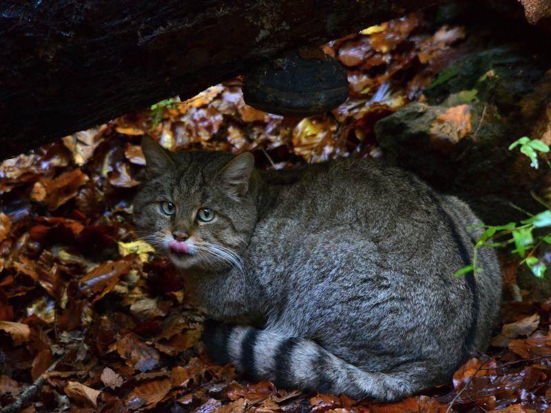 Europäische Wildkatzen leben vor allem in naturnahen Wäldern mit vielen Verstecken – Shutterstock / Marek Velechovsky