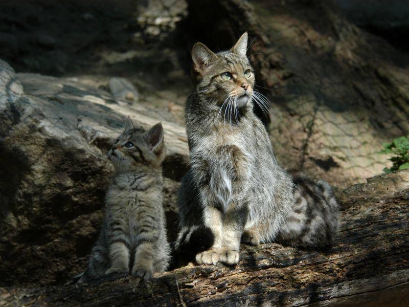 Die Wildkatzenmutter bringt ihren Kätzchen alles bei – Shutterstock / Vladimir Wrangel