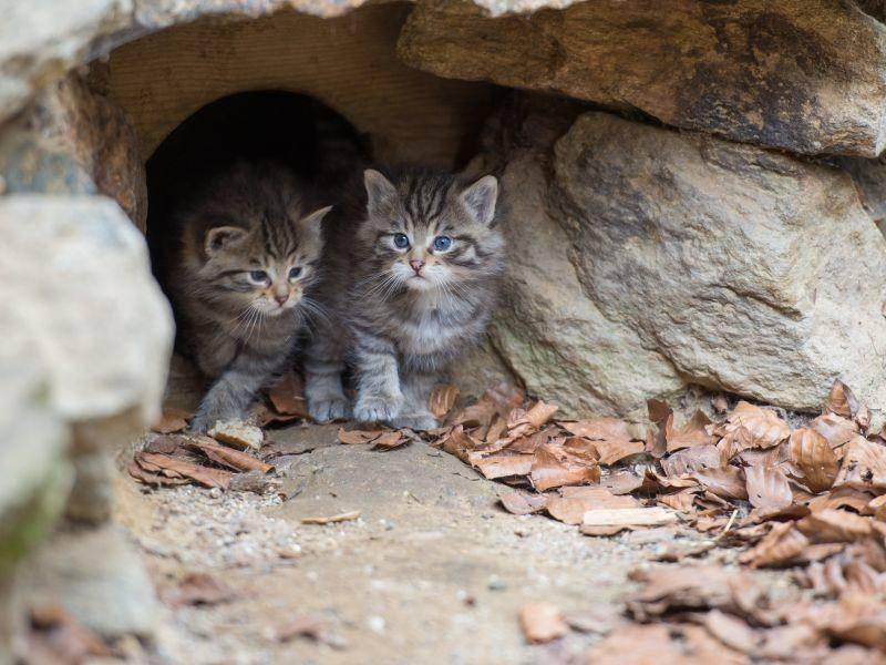 Wildkatzen bekommen meist zwischen zwei und vier Babys pro Wurf. Zu niedlich! – Shutterstock / Stefan Simmerl