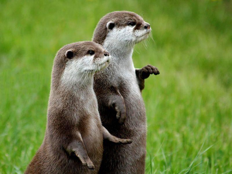 Zwergotter sind gesellige Tiere. Was die beiden wohl erspäht haben? – Shutterstock / Barry Forbes