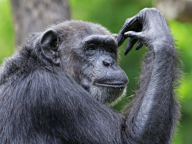 In freier Natur können Schimpansen ungefähr 30 bis 40 Jahre alt werden – Bild: Shutterstock / Kjersti Joergensen