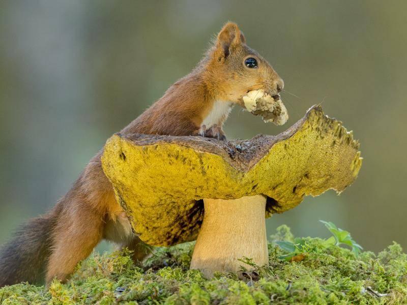"""""""Hoffentlich sieht keiner, dass ich mir etwas von dem Pilz stibitze!"""" Frachdachs! – Bild: Shutterstock / geertweggen"""