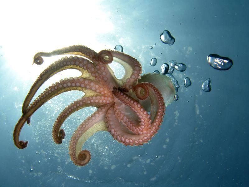 Für gewöhnlich werden Oktopusse nur bis zu zwei Jahre alt – Bild: Shutterstock / Vittorio Bruno