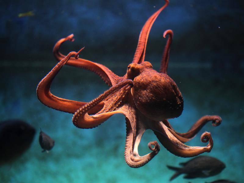 Die Fangarme dieses Tieres können bis zu einen Meter lang werden, … – Bild: Shutterstock / Vladimir Wrangel