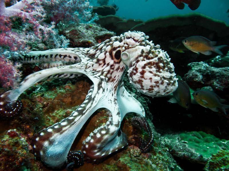 Der Oktopus wird vor allem zum Verzehr gefangen – Bild: Shutterstock / magnusdeepbelow
