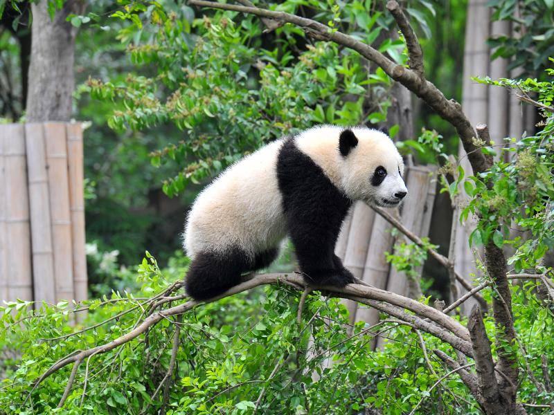 Ein Panda auf dem Schwebebalken! Sportlich, sportlich! – Bild: Shutterstock / Hung Chung Chih