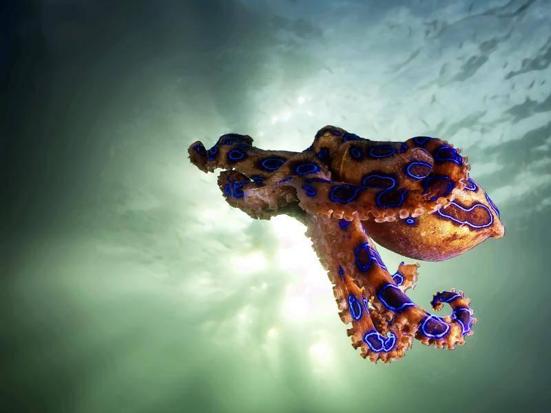 Der Gewöhnliche Krake ist weltweit in den Meeren zu finden, … – Bild: Shutterstock / YUSRAN ABDUL RAHMAN