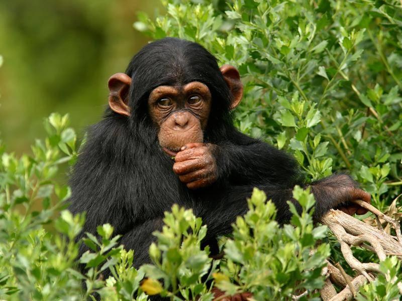 Die Heimat dieser Tiere ist das mittlere Afrika – Bild: Shutterstock / Ronnie Howard