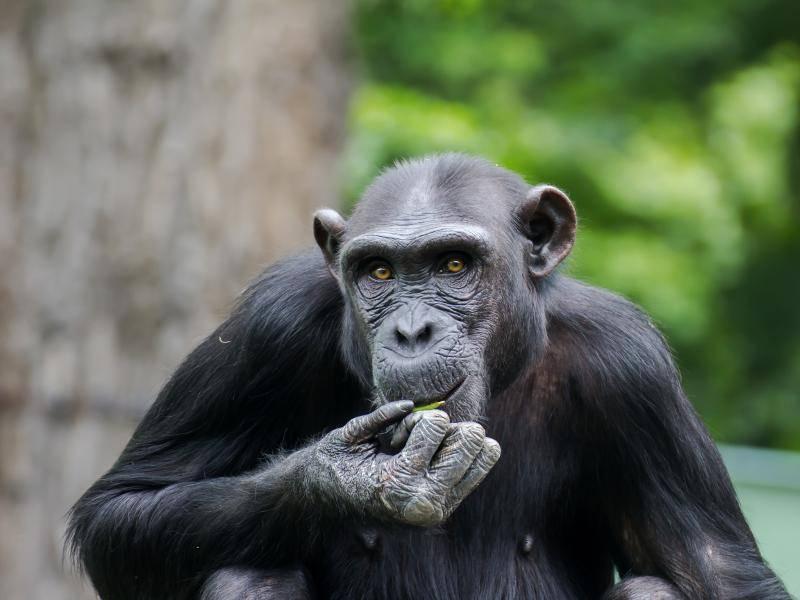 Dort leben die Affen in Regenwäldern, aber auch in trockenen Savannen – Bild: Shutterstock / DSanimal