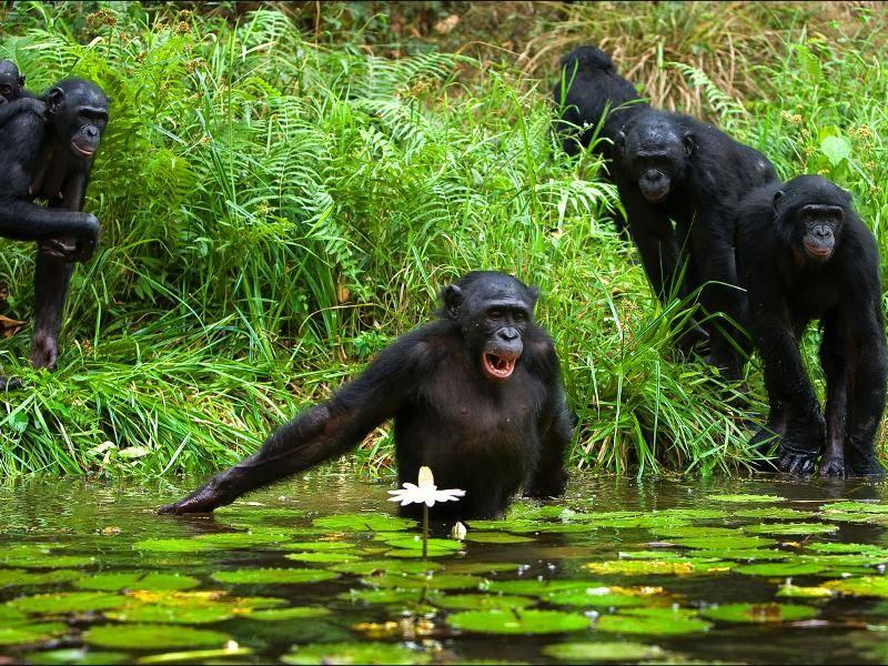 Schimpansen leben außerdem in großen Gruppen – Bild: Shutterstock / Sergey Uryadnikov