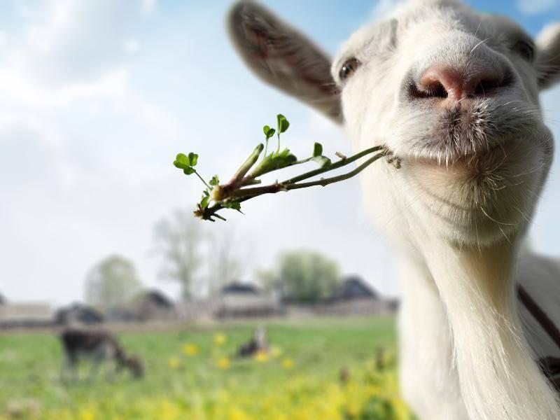 """""""Hallo, ich kaue gerade auf Grünzeug herum. Und was macht ihr so?"""" – Bild: Shutterstock / Dudarev Mikhail"""