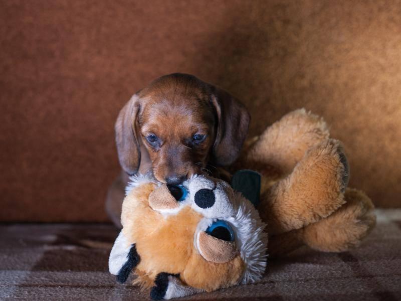 Sooo ein kleines süßes Hündchen mit seinem riesigem Kuscheltierchen – Bild: Shutterstock / Sofia Zelikman