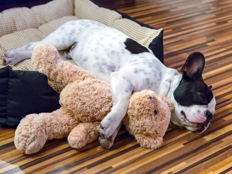 Ein Hund und sein Kuscheltier sind einfach unzertrennlich – Bild: Shutterstock / Patryk Kosmider