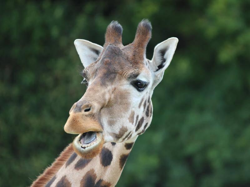 """""""Das Zebra auf dem Nachbargrundstück läuft nackt herum! Unglaublich!"""" – Bild: Shutterstock / fieldwork"""