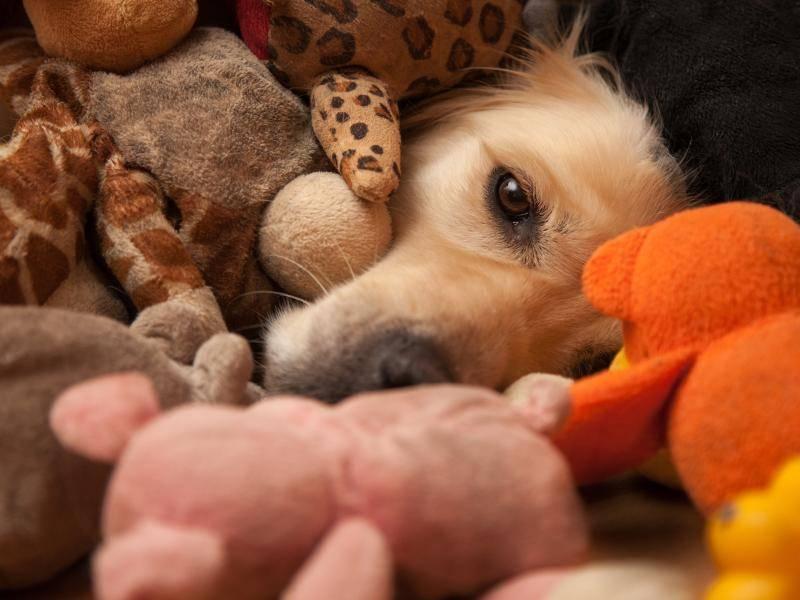 Da sieht man den Hund vor lauter Kuscheltieren kaum – Bild: Shutterstock / Joop Snijder Photography