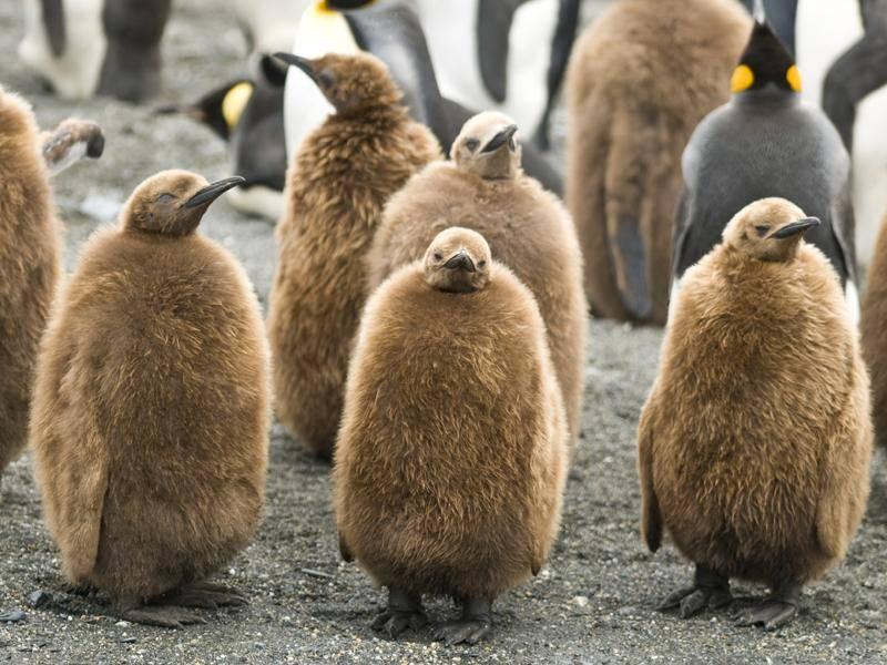 Als Küken sehen Königspinguine aus wie große Kiwis – Shutterstock / Rich Lindie