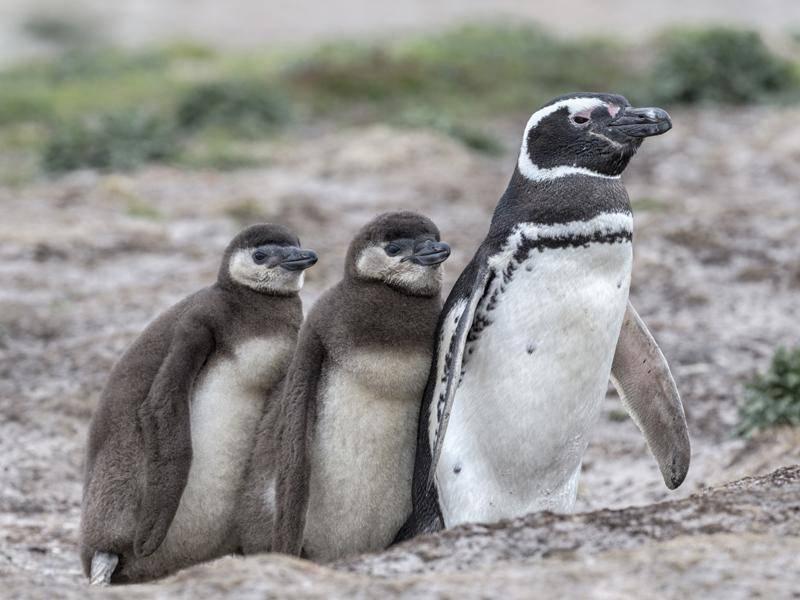 So putzig: Magellan-Pinguin mit Küken im Gänsemarsch – Shutterstock / David Osborn