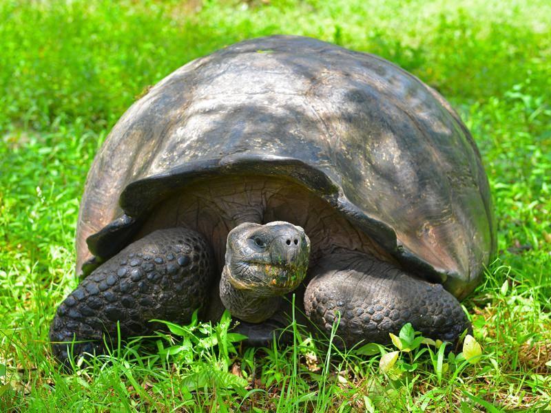 Trotz hoher Lebenserwartung von um die 100 Jahren sind auch Galápagos-Riesenschildkröten gefährdet – Shutterstock / SL-Photography