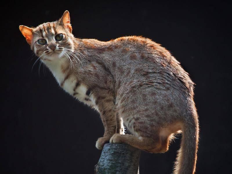 Noch eine Verwandte unserer Hauskatze: Die Rostkatze steht 2016 nur noch auf der Vorwarnliste, ist aber immer noch gefährdet – Shutterstock / Vladimir Wrangel