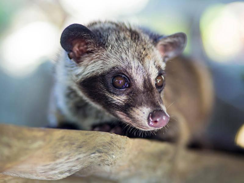 Einige Mitglieder aus der Schleichkatzenfamilie gelten als vom Aussterben bedroht, etwa die Großfleck-Zibetkatze und der Fleckenroller – Shutterstock / trubavin