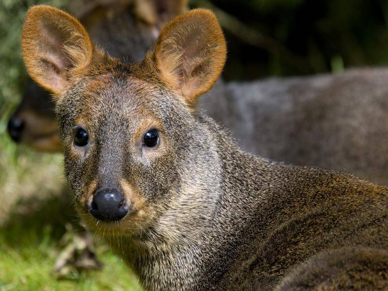 Dieses niedliche Kerlchen ist ein Südlicher Pudu; leider steht die kleine Hirschart auch auf der Vorwarnliste – Shutterstock / Robbie Taylor