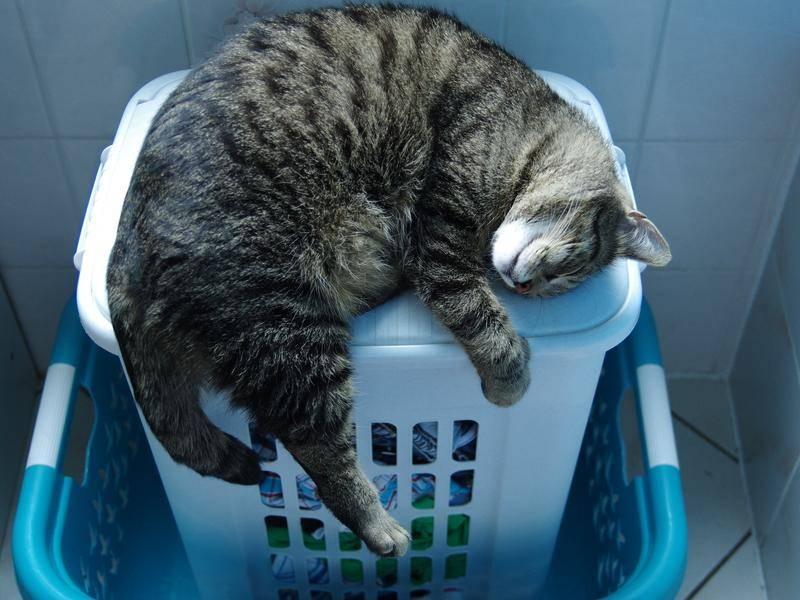 Der Ausflug ins Bad war ganz schön anstrengend. Diese Samtpfote hält erst mal ein Nickerchen auf dem Wäschekorb - Bild: Shutterstock/isumi1