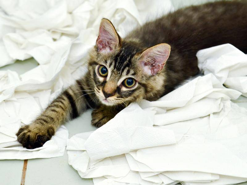 Klopapier ist das perfekte, weiche Kuschelkissen für dieses niedliche Katzenbaby – Bild: Shutterstock/hwongcc