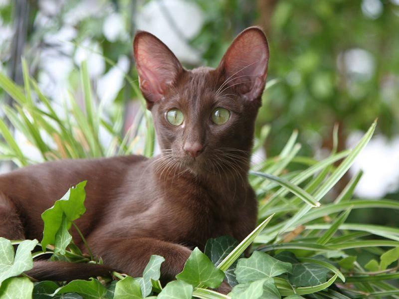 Außerdem lieben Abessinierkatzen die Sonne — Bild: Shutterstock / Bildagentur Zoonar GmbH