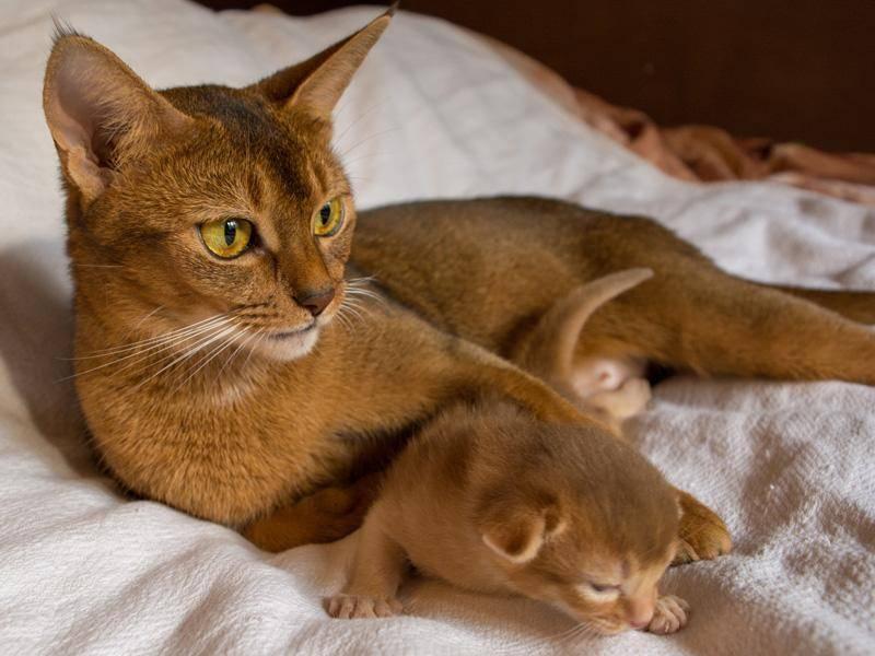 Abessinierkatzen sind als Jungtiere besonders neugierig — Bild: Shutterstock / Evgenii Ch