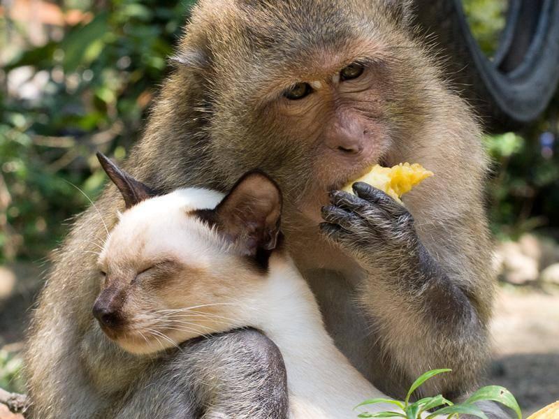 Exotische Freunde: Auch dieser Affe und diese Katze haben einander offensichtlich lieb gewonnen – Bild: Shutterstock / OlegD