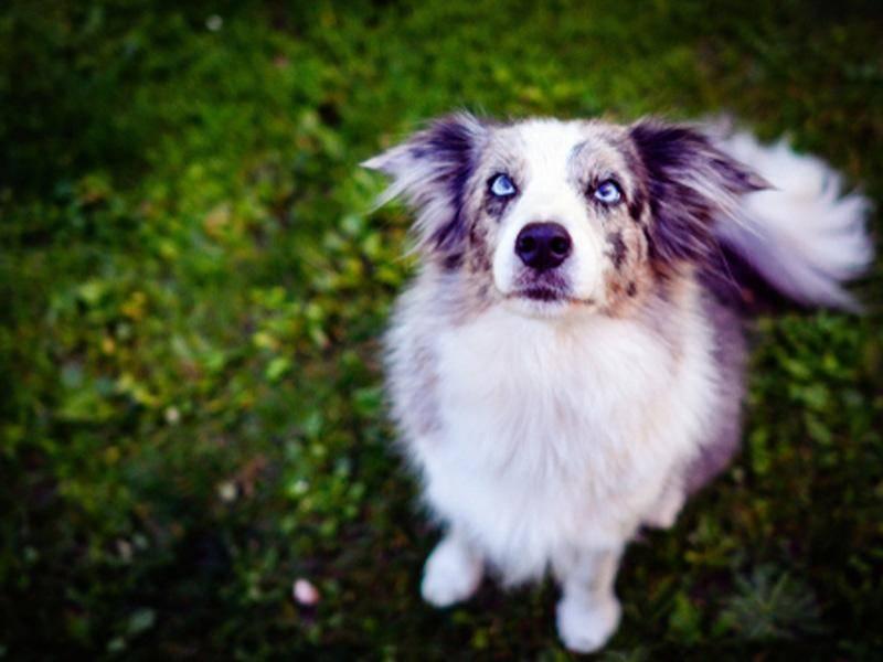 Treue blaue Augen: So süß dieser Hundeblick! - Bild: Shutterstock / JitkaP
